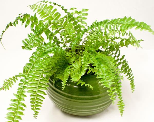 Cây dương xỉ trồng trong nhà có tác dụng làm sạch không khí và mang ý nghĩa phong thủy